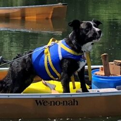 Dog in Wenonah Champlain Canoe Ultralight Tandem