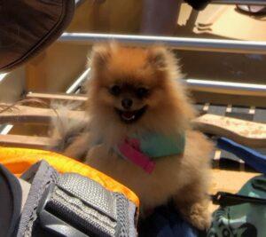 Pomeranian Wenonah Escape Canoe